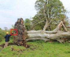 Vētras laikā apgāzās 200 gadus vecs koks. To saknēs atrada ko tādu, ko nespēja izskaidrot pat ciemata iedzīvotāji!